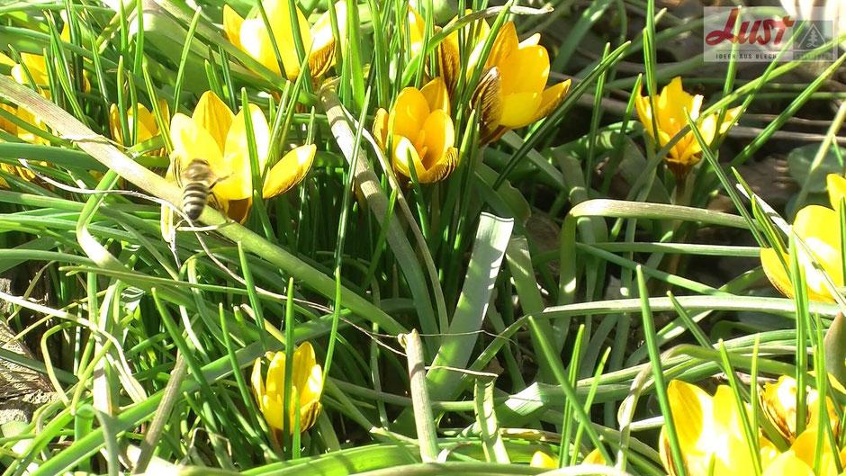 Wenn im Spätwinter das Nahrungsangebot für Insekten noch gering ist, bieten Krokusse ersten Nektar.