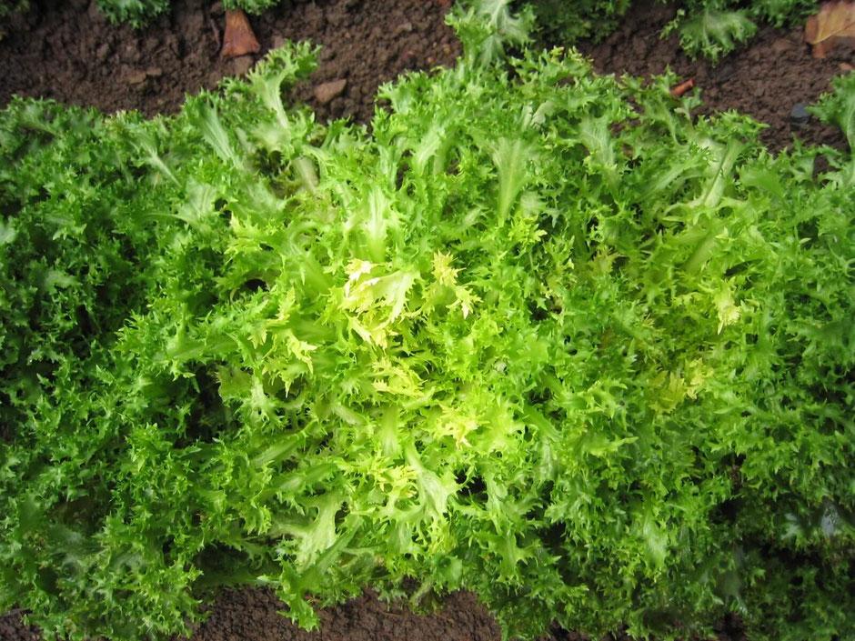 Endivie (Chicorium endivia): Dieser gut schneckenfeste Bittersalat hat den Inhaltsstoff Intybin. Sollten Sie das Bittere nicht mögen, einfach den Salt kurz in lauwarmes Wasser legen.