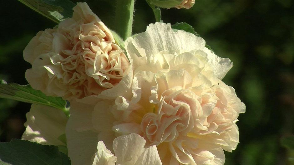 Stockrosen (Alcea rosea) sind der Stolz jeden Gartenbesitzers. Diese apricotfarbene Züchtung hat dicht gefüllte, pomponartige Blüten in zartem Apricot.