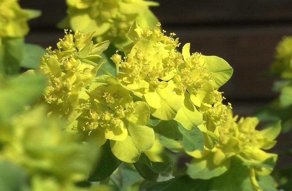 Die sagenumwobene Wolfsmilch verzaubert mit ihren fast unwirklich gelben Blüten.