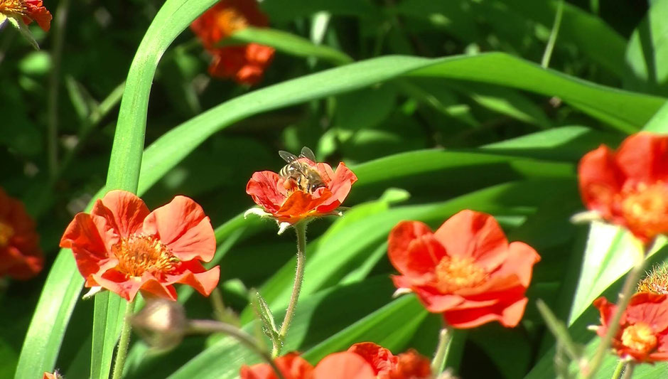 Bei dieser orangefarbenen Schönheit handelt es sich um die Nelkenwurz 'Werner Arends' (Geum x heldreichii). Sie verträgt Sonne, aber auch Halbschatten am Gehölzrand.