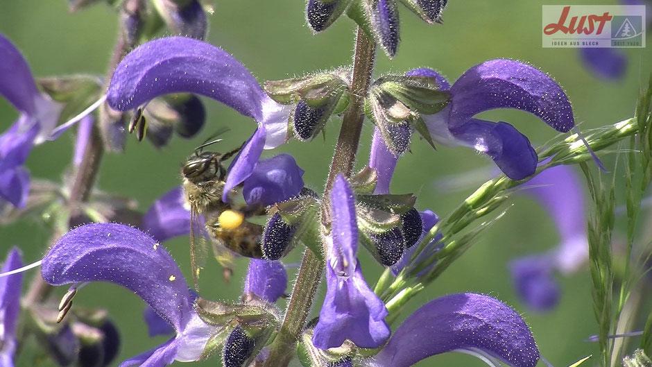 Wiesensalbei bietet Blütenstaub, den Bienen an ihren Beinen in gelben Pollensäckchen sammeln. Diese Salbei-Art ist essbar und kann Salat beigemischt werden.