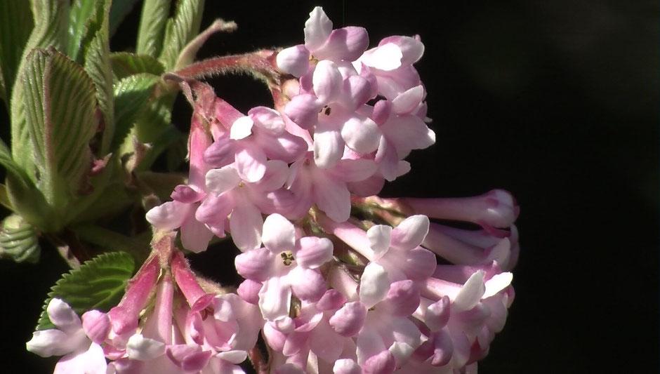 Der Schneeball (Viburnum) gehört zu den Ziersträuchern und blüht meist in Weiß oder Rosa.
