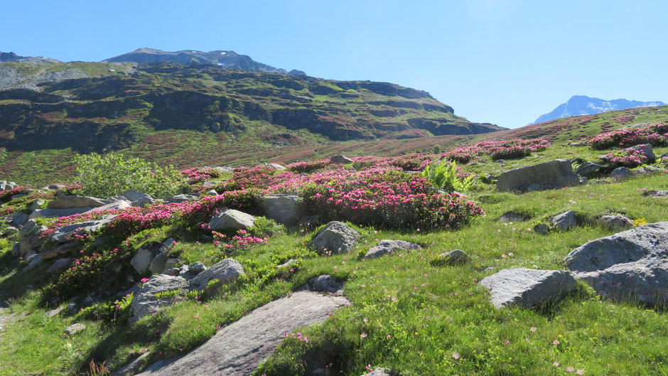 Die Hänge rund um den Lago di Montgespluga sind mit Alpenrosen nur so übersät. Trotz der widrigen Bedingungen können die Sträucher gut einen Meter hoch werden.