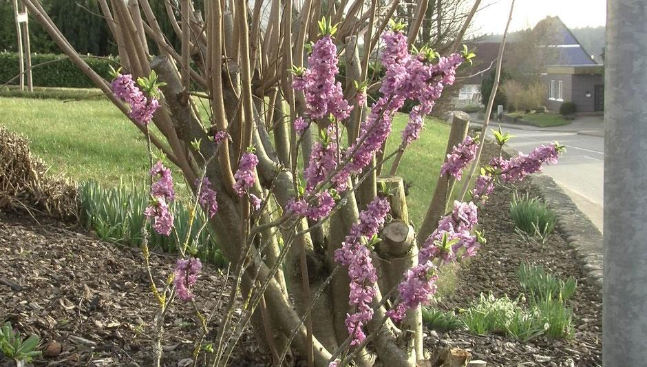 Seidelbast (Daphne mezereum) ist ein attraktiver, aber giftiger Strauch - ideal für lichte Bereiche im Garten.
