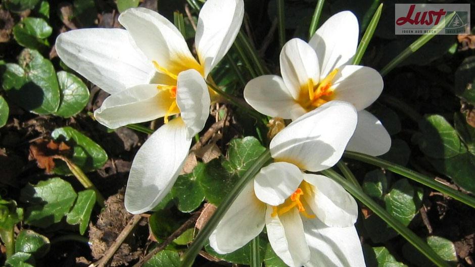 Neben gelb und blau blühenden Krokussen gibt es auch Züchtungen in weiß oder auch in rötlichen Tönen.
