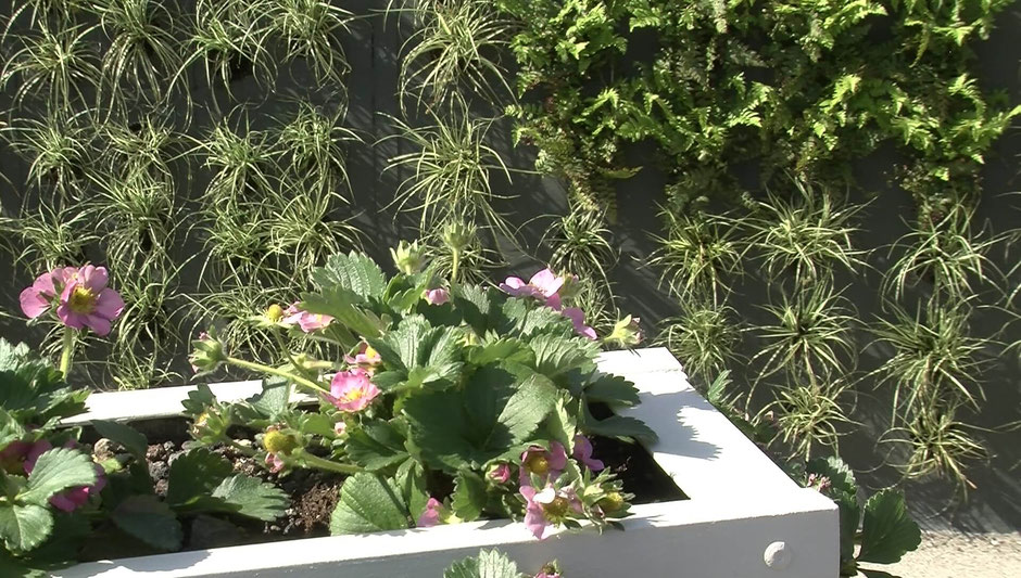 Auf dem Trapezdach dieses Pflanzenmoduls gedeihen Erdbeeren. Im Hintergrund ein wintergrüner Pflanzvorschlag für die Nordseite mit Hirschzungenfarn und der Segge 'Evergold'.