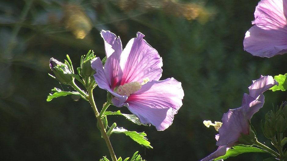 Es gibt hunderte Hibiskus-Arten. Winterhart sind aber nur der Straucheibisch (Hibiscus syriacus) sowie der Stauden-Hibiskus (Hibiscus x moscheutos).