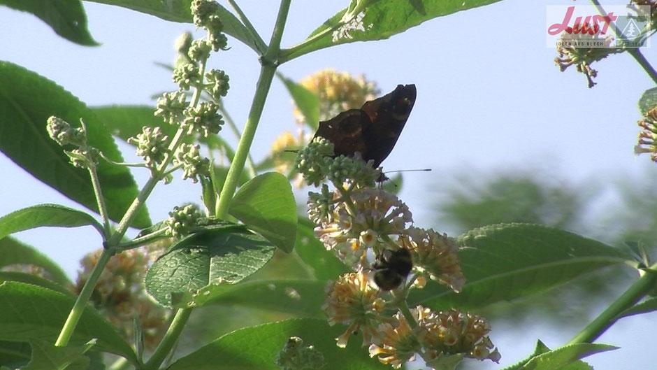 Sehr verbreitet ist Schmetterlingsflieder in Weiß, Rosa oder Lila. Eine Rarität ist der gelb blühende Sommerflieder 'Sungold'.
