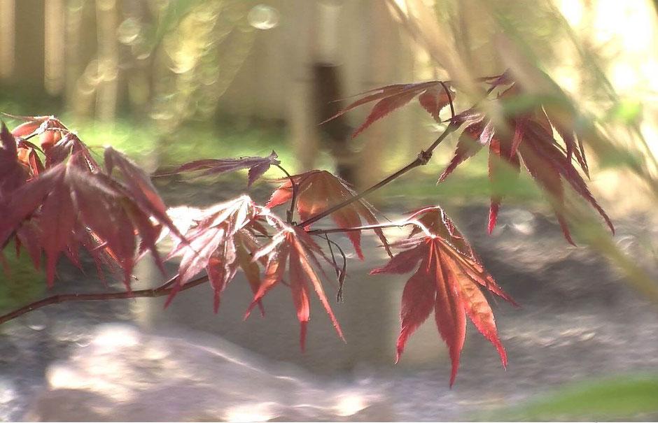 Wie die Kiefer ist Ahorn ein zentrales Gestaltungs-Gehölz im Japan-Garten. Die Sorte 'Fireglow' belebt den Garten in Orange-Rot.