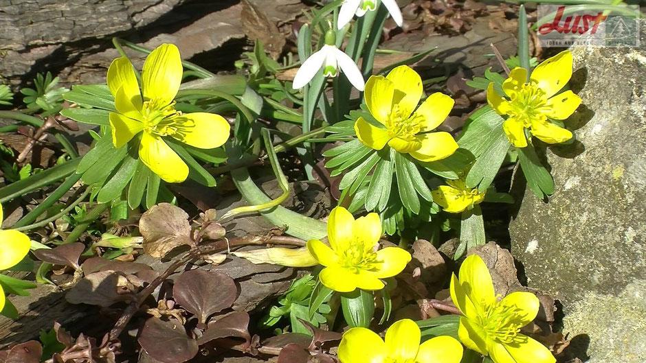 Die ersten Blüten im  Winter: Winterlinge (Eranthis hyemalis) zusammen mit Schneeglöckchen (Galanthus nivalis)