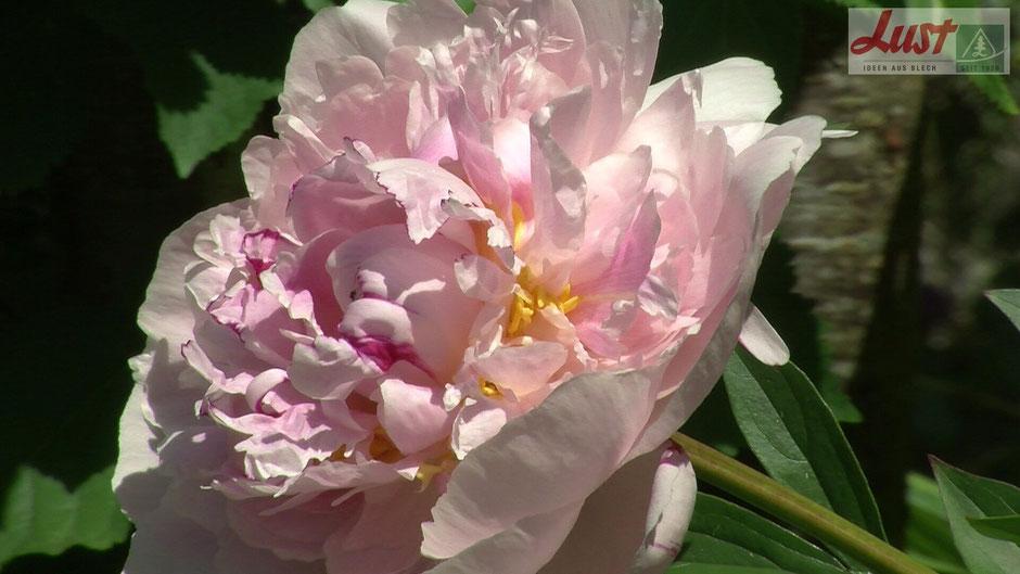 Die meisten Pfingstrosen, wie diese rosa gefüllt blühende Sorte, ziehen im Winter komplett ein.
