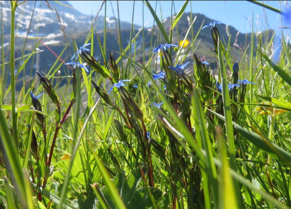 Enzian im Gebirge zu entdecken, ist immer ein Highlight. Die unter Naturschutz stehenden Pflanzen findet man am Splügen-Pass in bis zu 2.000 Metern Höhe.