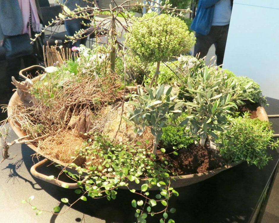 Im Miniaturgarten gibt es unzählige Pflanzen zu entdecken: ein Weidenbäumchen überdacht die Landschaft, darunter Olivenbäumchen, Jasmin, Lavendel, Hebe und Mühlenbeckia.