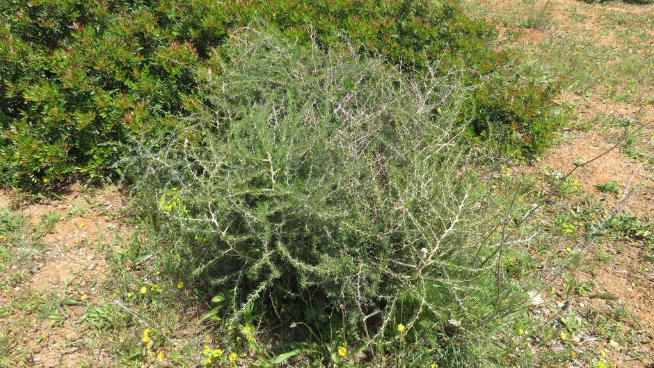 Dies ist kein Dornbusch, sondern wilder, essbarer grüner Spargel. Nur die zarten, jungen Triebe können geerntet werden.