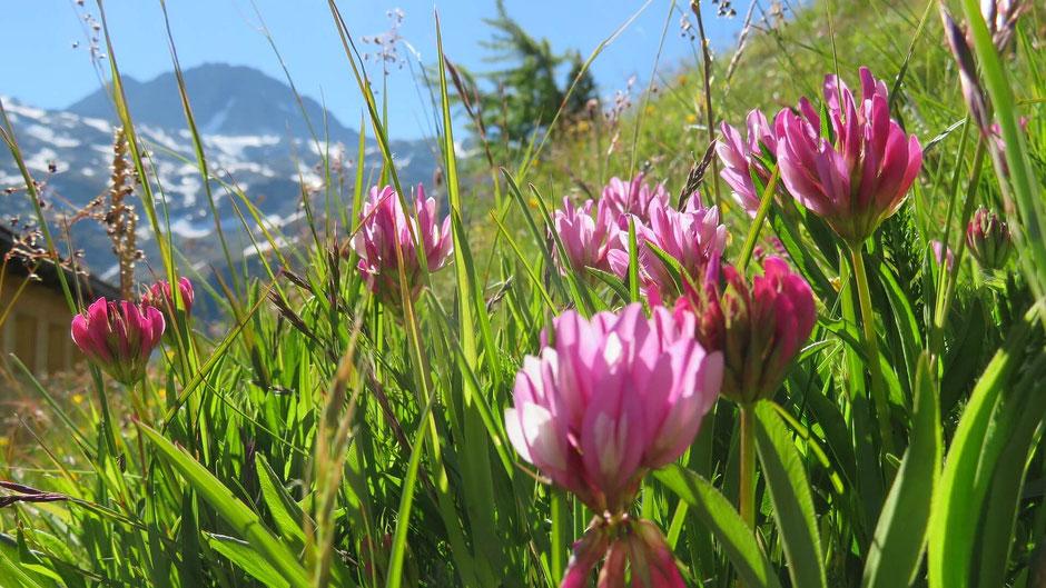 Der Alpen-Klee bietet nicht nur Nahrung für Insekten. Er ist auch eine wichtige Futterpflanze für Kühe, Schafe, Gämsen und Murmeltiere.