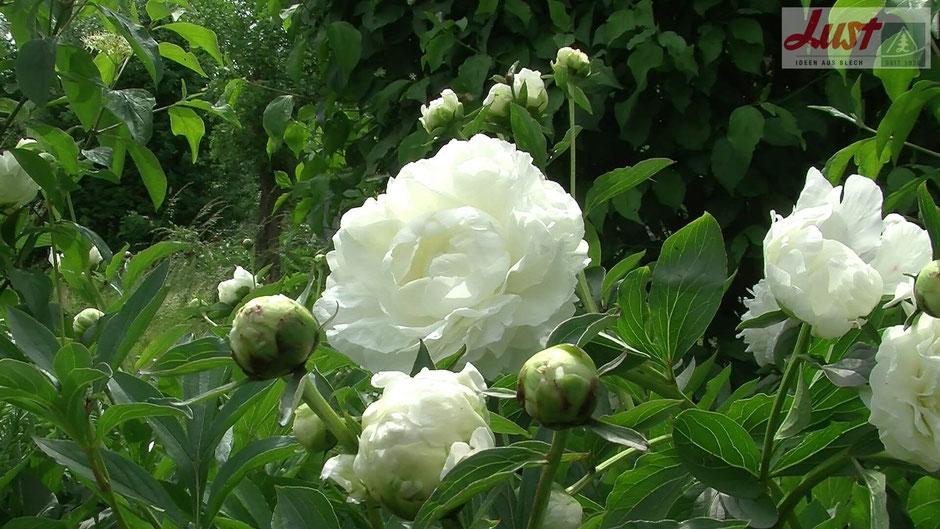 Pfingstrosen eignen sich auch hervorragend zum Trocknen.  Hängen Sie die halb geöffneten Blüten an einen trockenen, schattigen Platz.