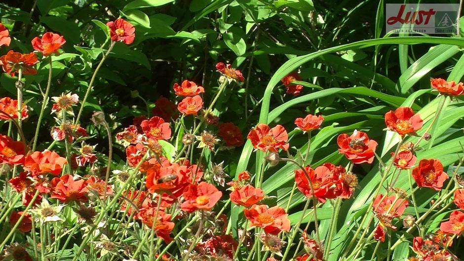 Eine der schönsten Nelkenwurz-Züchtungen ist sicherlich die Sorte 'Werner Arends'. Sie gedeiht in normalem Gartenboden, ist wintergrün und verträgt Sonne oder Halbschatten.
