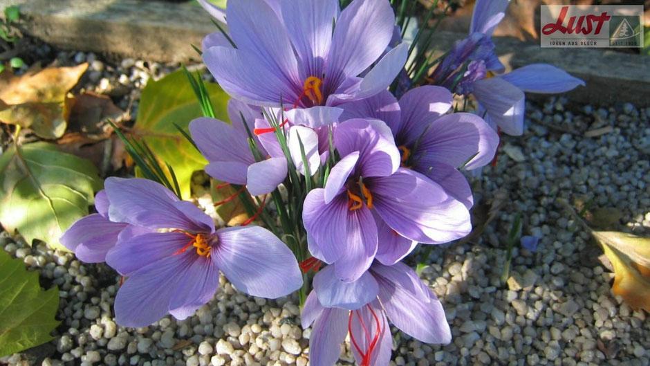 Der überaus kostbare Safran wird aus den Staubfäden des im Herbst blühenden Safran-Krokusses gewonnen.