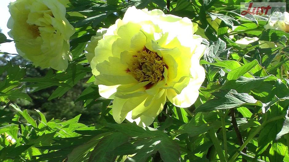 Außergewöhnlich die gelb blühende Strauchpfingstrose 'High Noon'.