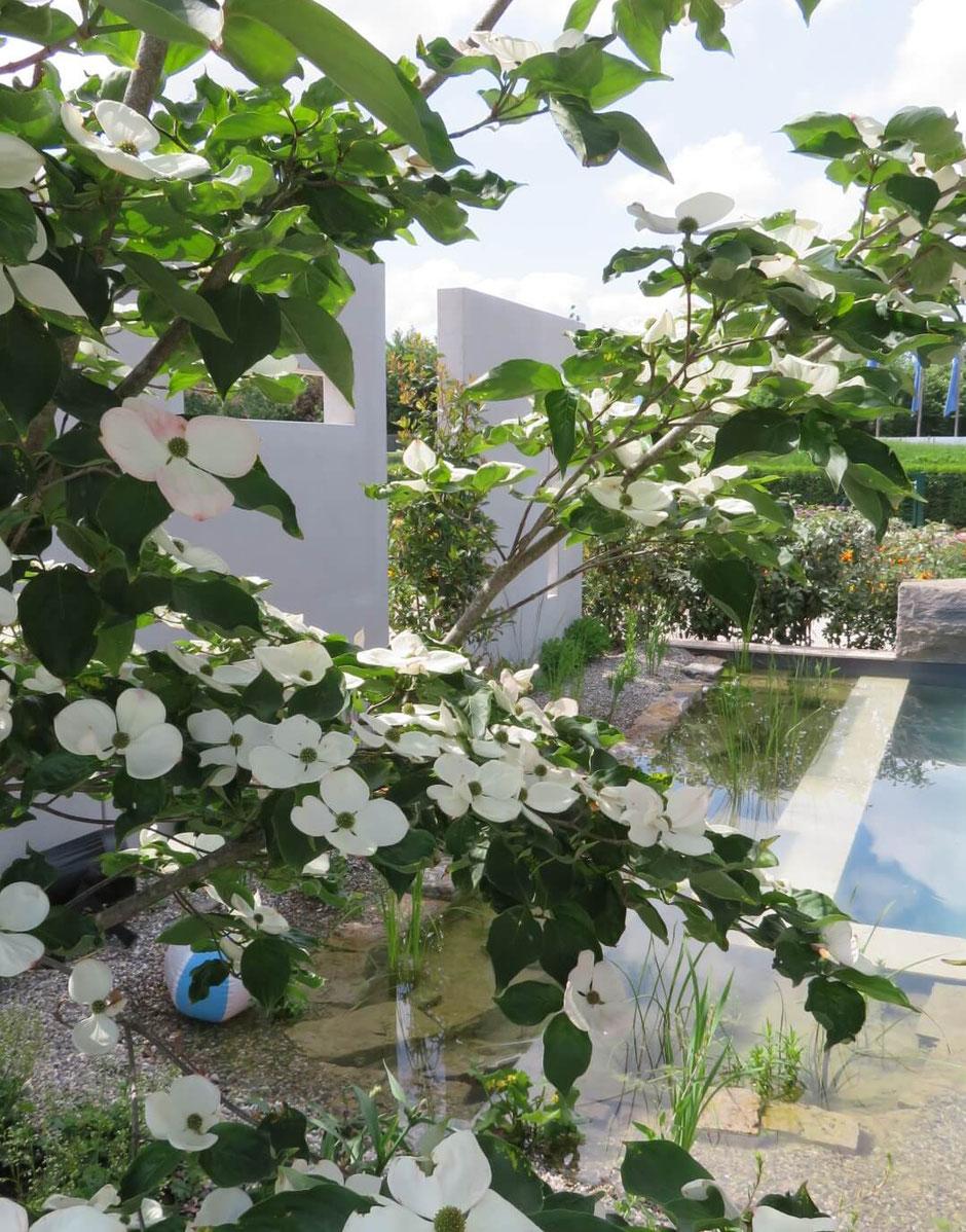 Ein weiß blühender Hartriegel beschattet das Ufer des Schwimmteiches. Abgegrenzt wird der Gartenbereich durch weiß gestrichene, durchbrochene Beton-Stelen.
