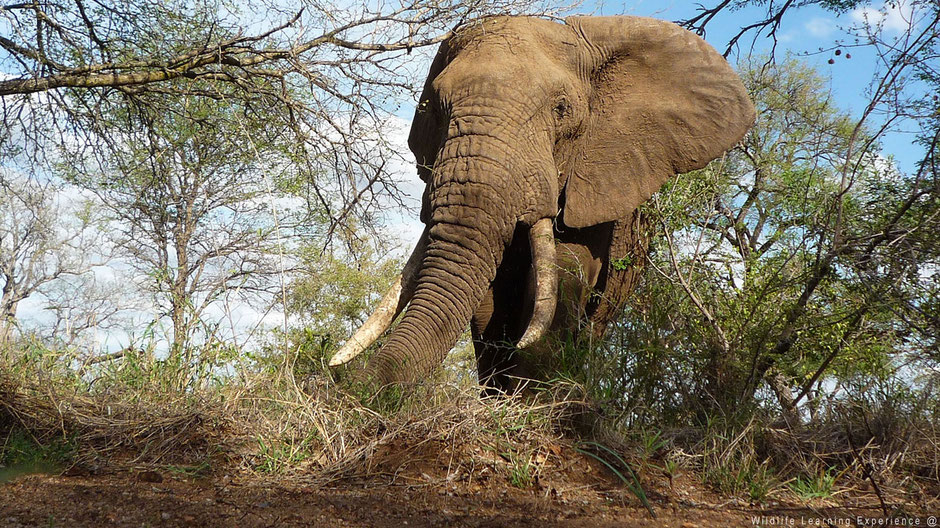 Huge elephant in the bush very close by
