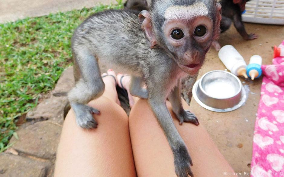 Baby vervet monkey South Africa