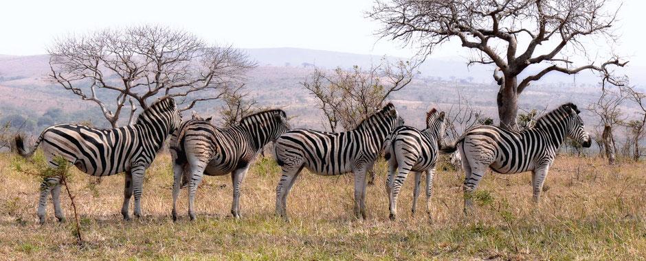 Zebra in line