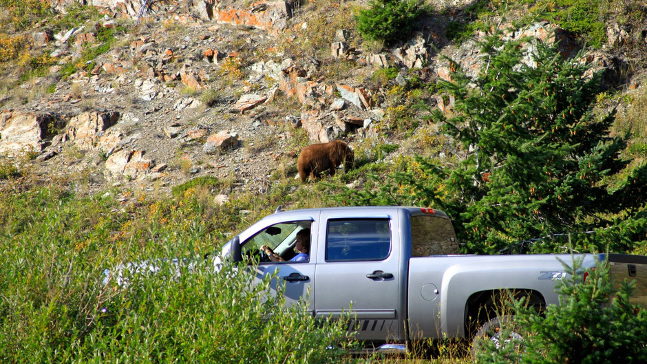 Grizzly, Wildlife Watch, Waterton Nationalpark