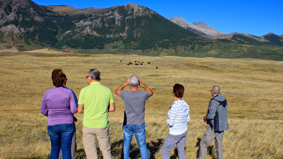 Bison, Wildlife Watch, Bison Paddock, Waterton Lakes Nationalpark