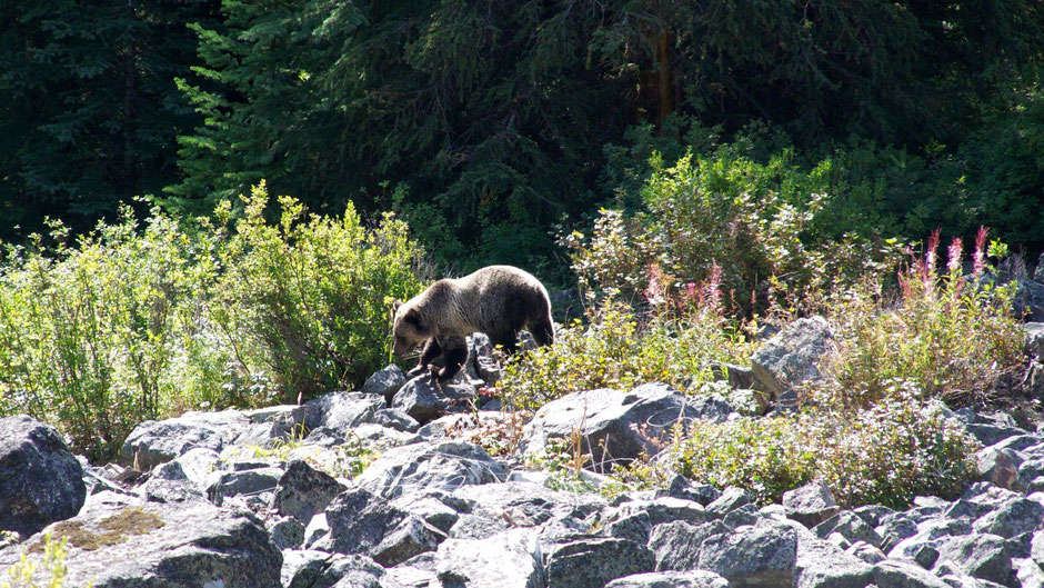 Grizzly Bear, Banff Nationalpark