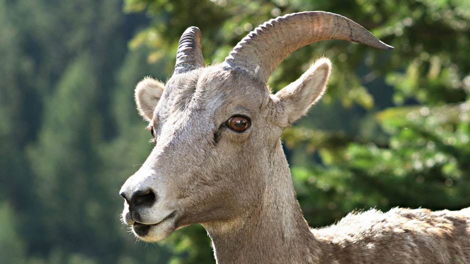 Bighorn Sheep, Female