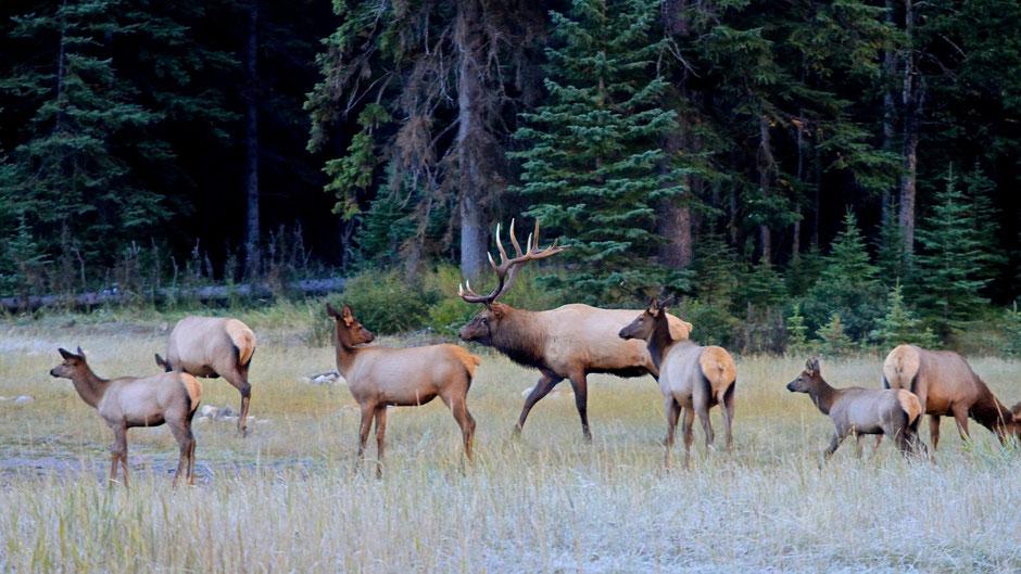 Wapitis Jasper Nationalpark