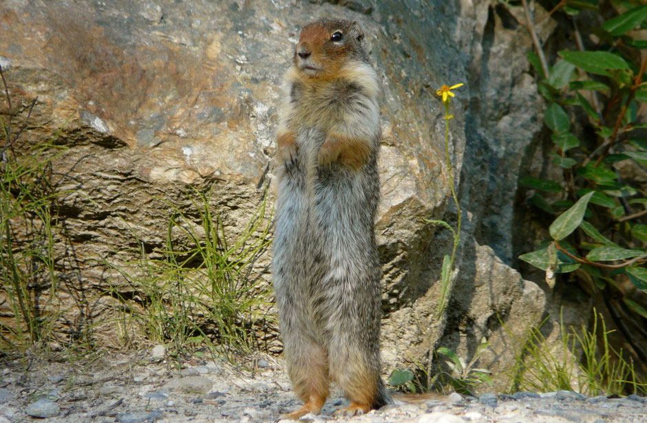 Columbian Ground Squirrels