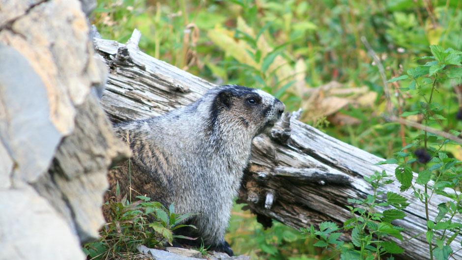 Hoarry Marmots