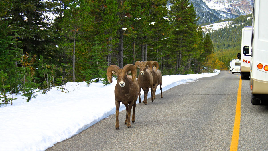 Bighorn Sheep, Waterton Nationalpark