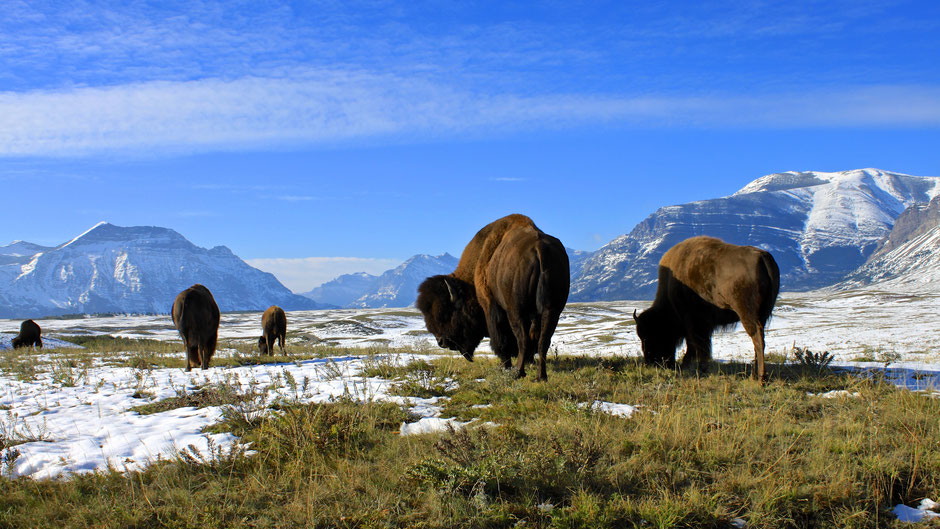 Bison Paddock, Waterton Lakes Nationalpark