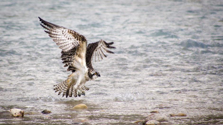 Osprey - © Stefan Müller