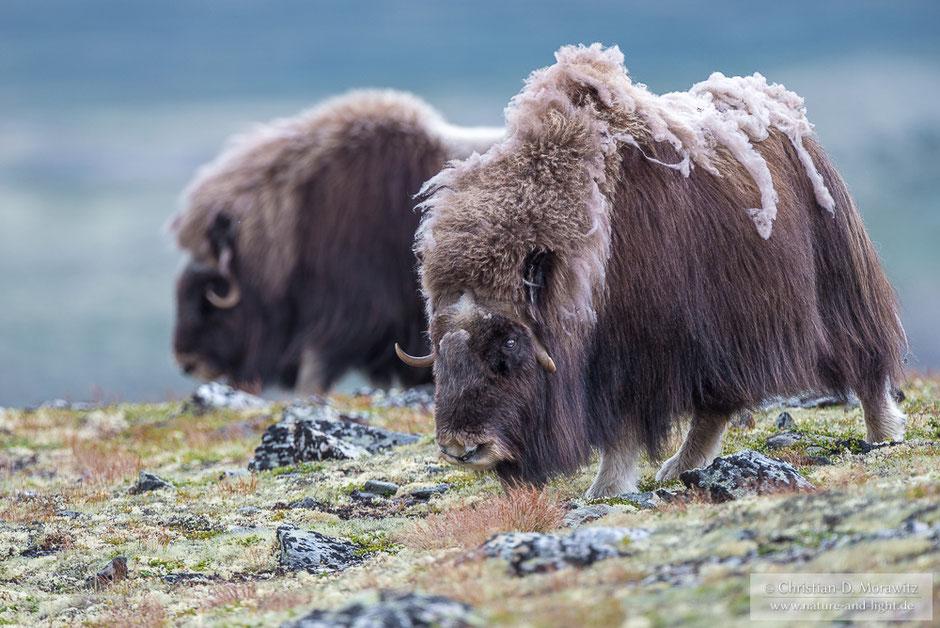 Moschusochsen auf der Tundra im Dovrefjell