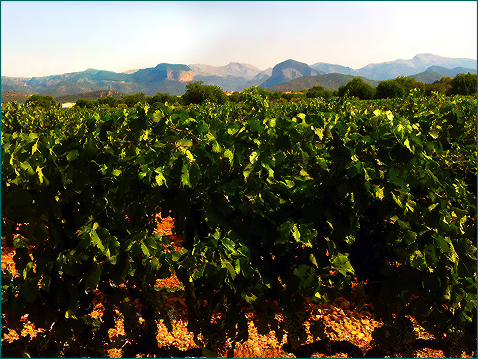 Vinhedo no povoado de Consell. No fundo podemos apreciar este povoado e a Serra de Tramuntana.