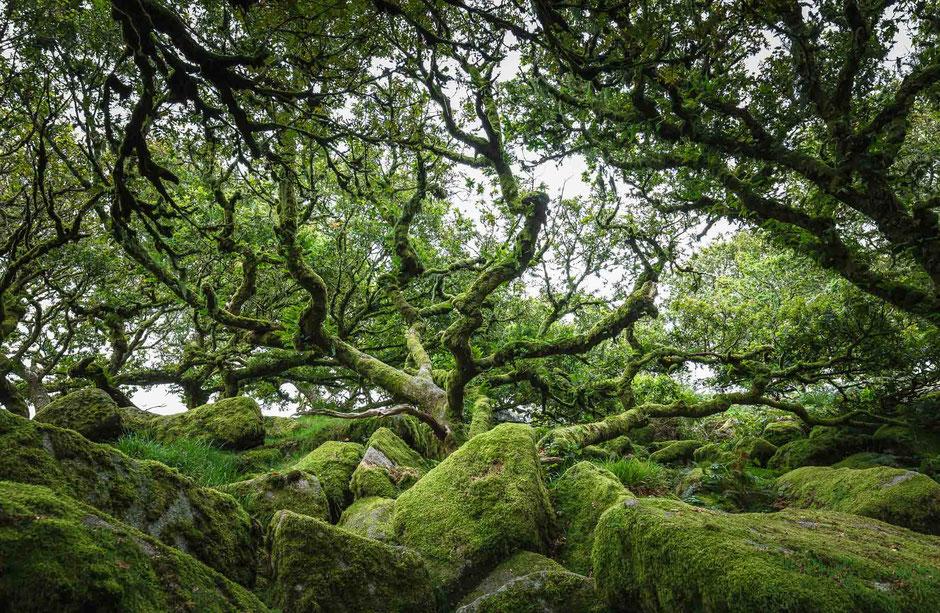 Wistman's Wood in Dartmoor, Devon, England, GB
