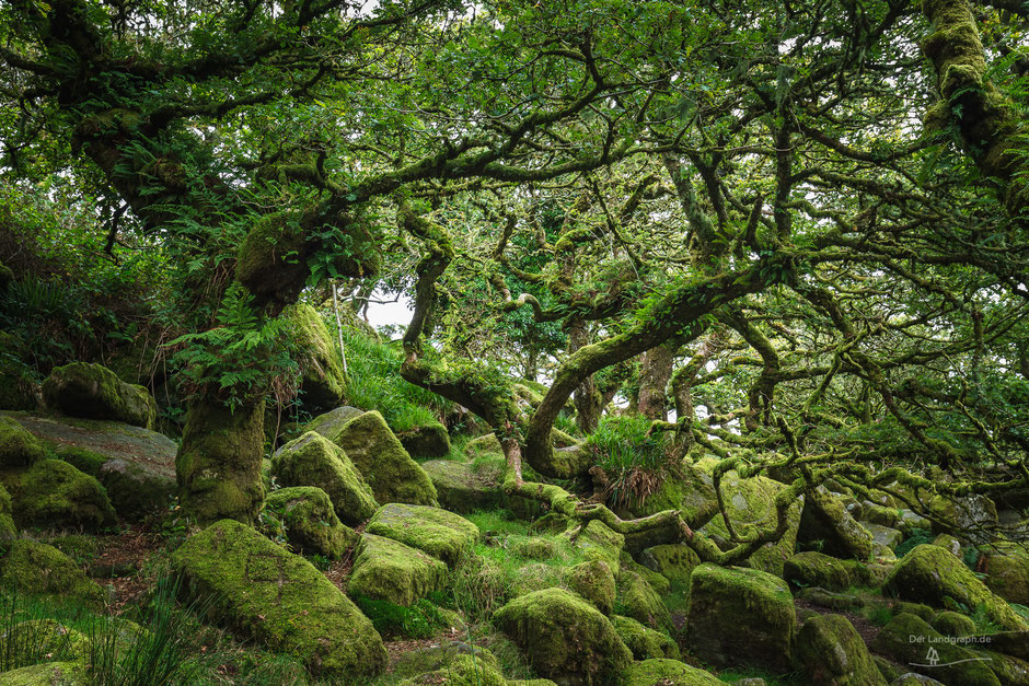 Wistman's Wood in Dartmoor, Devon, England, GB, Landschaftsfotografie, Landschaft