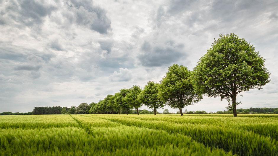 Allee am Rande eines Roggenfeldes in Ibbenbüren, Münsterland, Landschaftsfotografie, Landschaften, #landschaftsfotografie, #landscapes