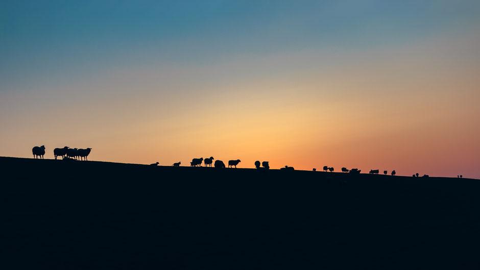 Schafe auf dem Deich in Norddeich, Deutschland bei Sonnenuntergang