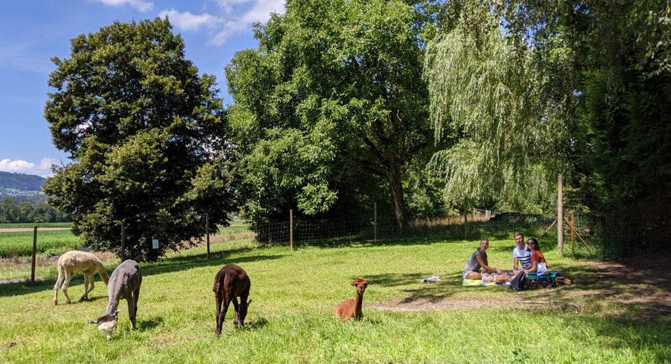 Picknick mit den Alpakas
