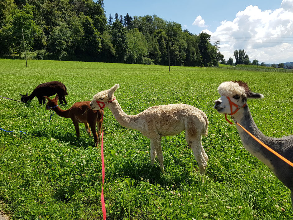 Alpakas im Gras