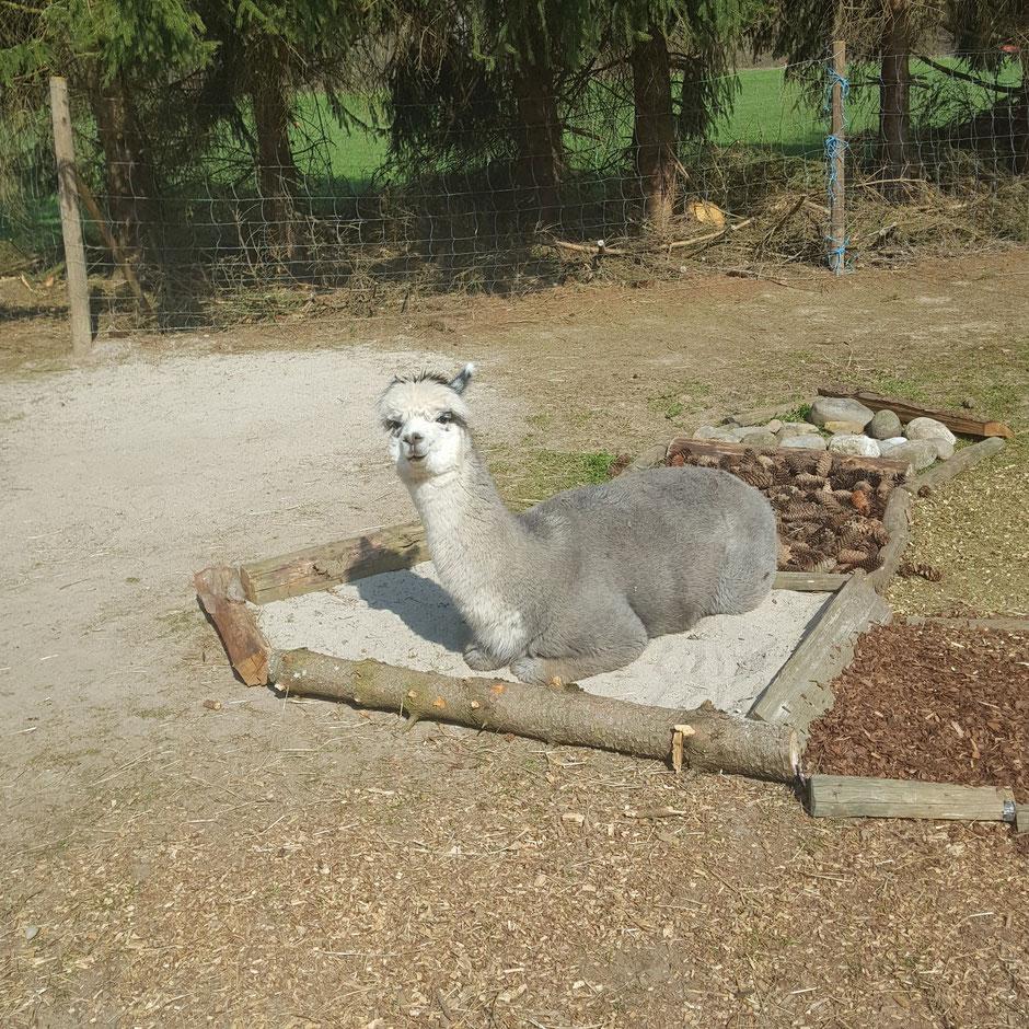 Alpaka Willi liegt im Sandbett