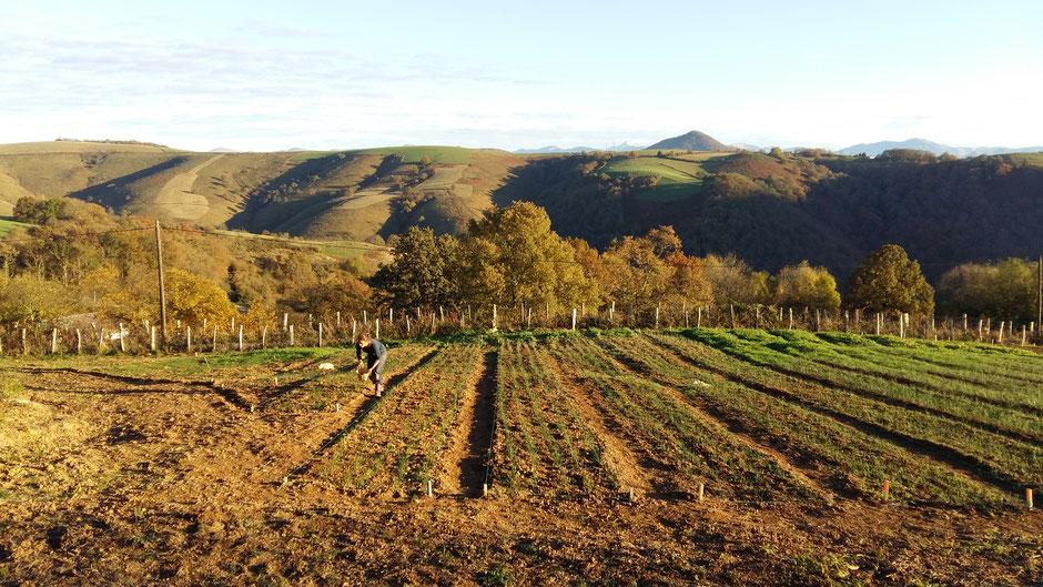 Safran : la safranière à Ossès Pays-Basque