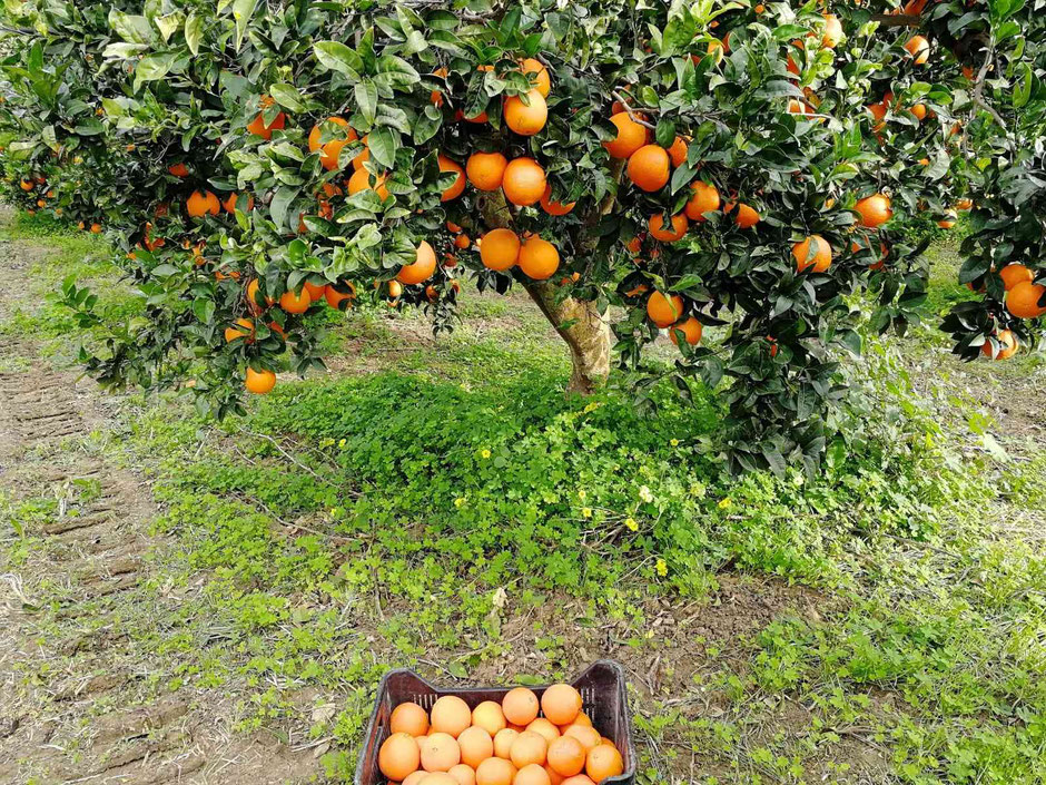 vendita-online-arance-bionde-di-sicilia-agrigento