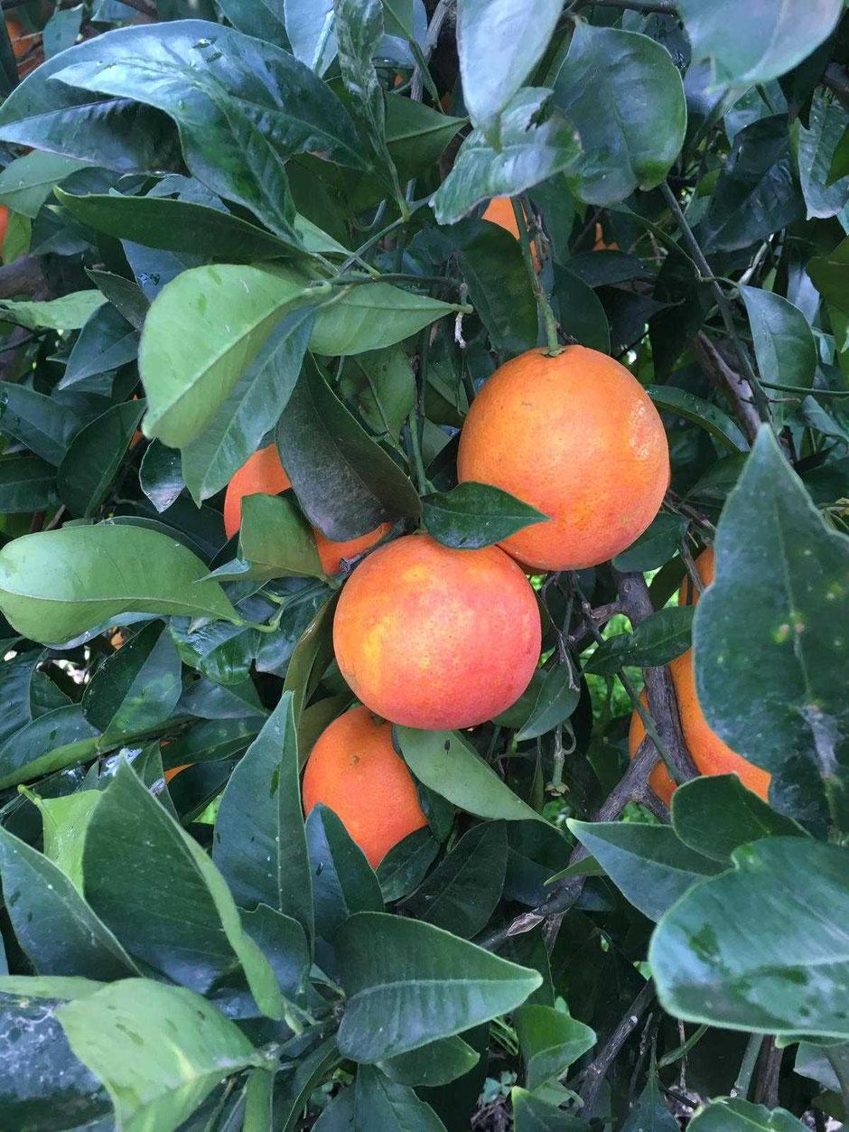 vendita-online-arance-rosse-di-sicilia-palagonia